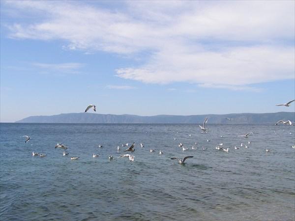 Чайки на Байкале