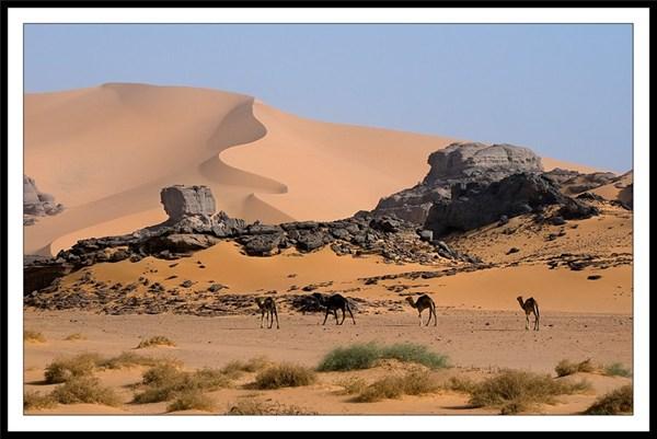 на фото: Дикие верблюды Сахары