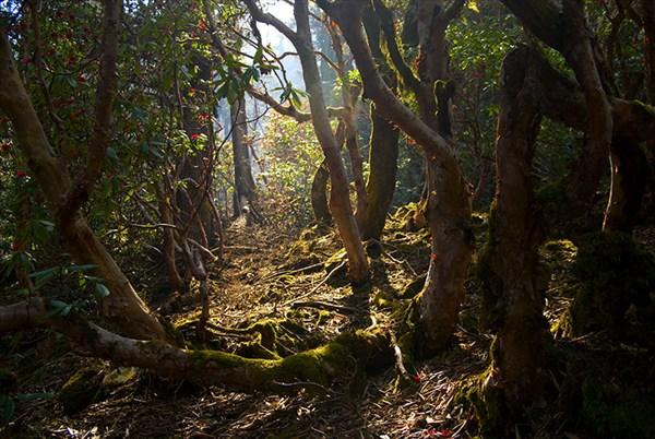 Рододендроновый лес