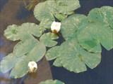 Лилии в пруду зимнего сада