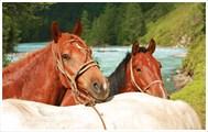 Внедорожная сила и красота алтая - лошади…