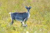 Мойкан - годовалый олененок