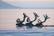 Три оленя