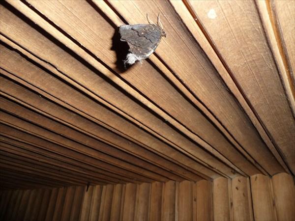 Бабочка в анабиозе