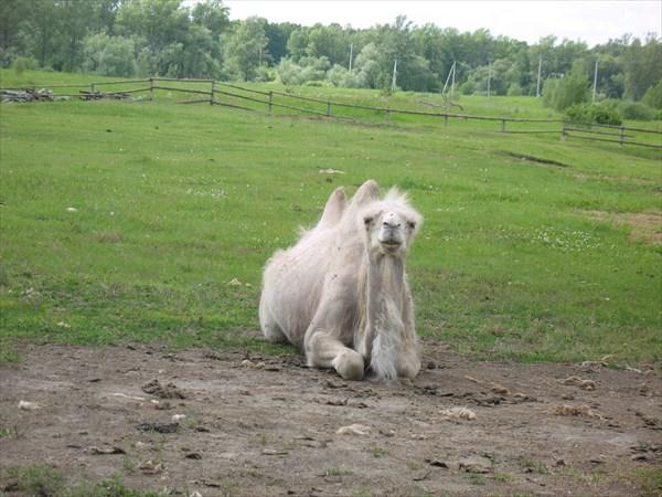 Верблюд из Березовки.