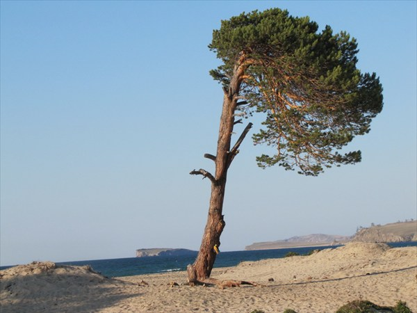От постоянного ветра, дерево как флаг.