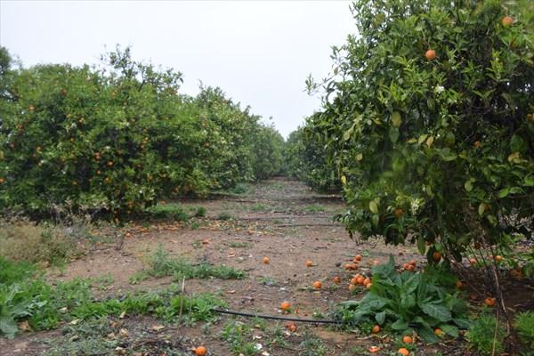 Апельсиновый рай!