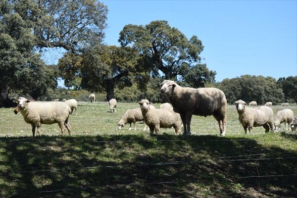 Вот на таких вот пастбищах пасутся овцы