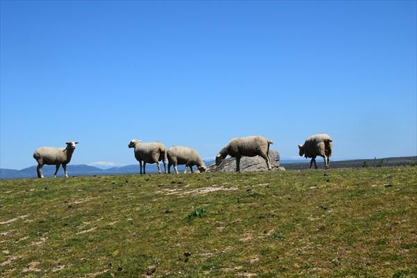 Вечно голодные овцы
