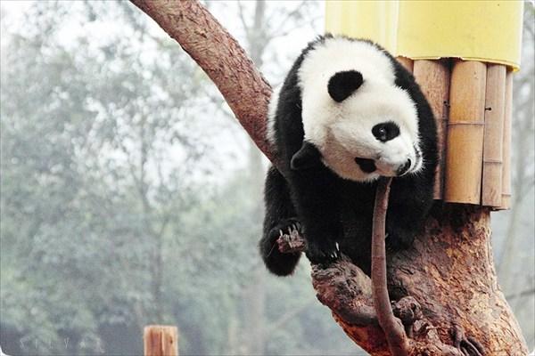 Через секунду панда уже будет спать