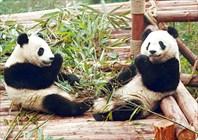 Большие панды занимаются делом