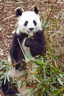 Не отвлекайте панду - она ест:)