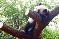 Второе любимое занятие панд - спать после еды