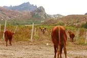 Коровий чимболаз