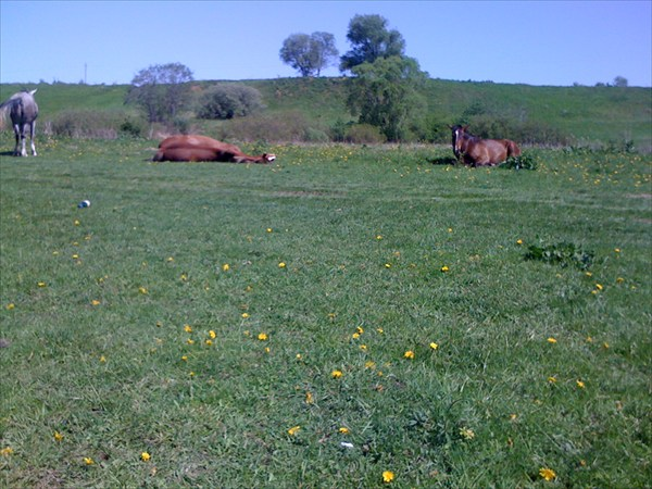 Кони нажевались и спят на солнышке