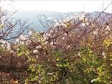 Дерево с пушистыми семенами.