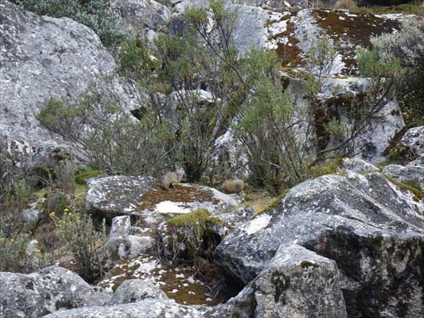 В скалах над стоянкой - Гиганские Серые Белки