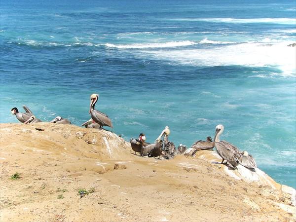 083-Пеликаны