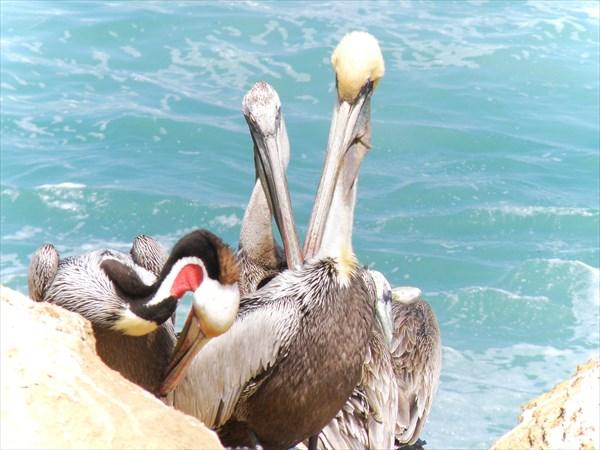 084-Пеликаны