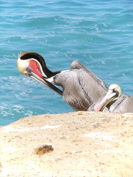 085-Пеликаны