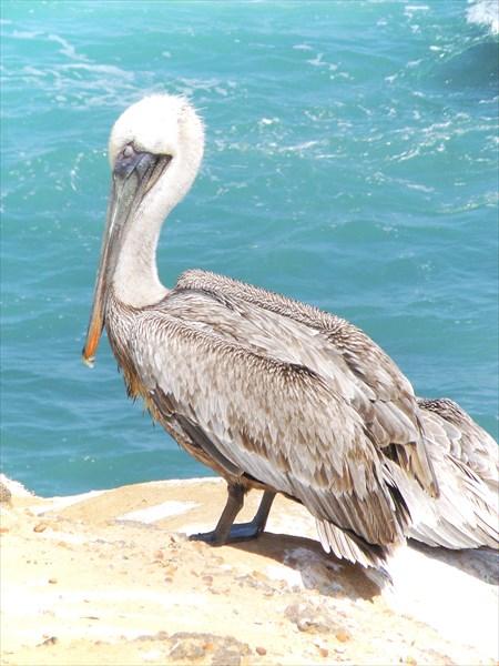 086-Пеликаны
