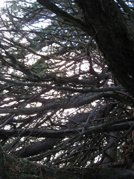 Ветви кедра