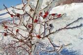 Замерзший куст шиповника