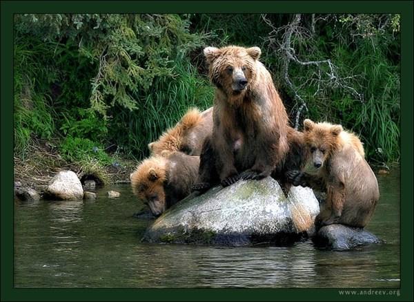 Медвежья идиллия
