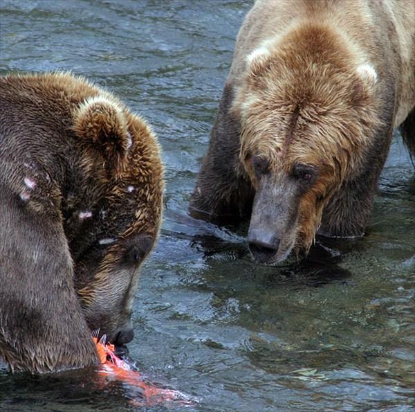 Медведи-подводники. Горилла