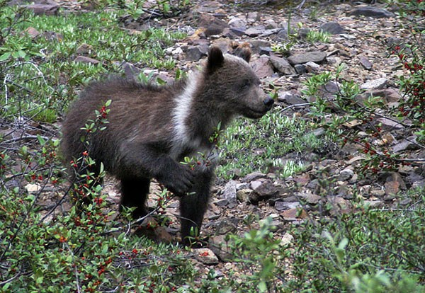 Медвежонок-гризли