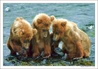 Три медведя...