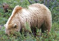 Медведица-гризли