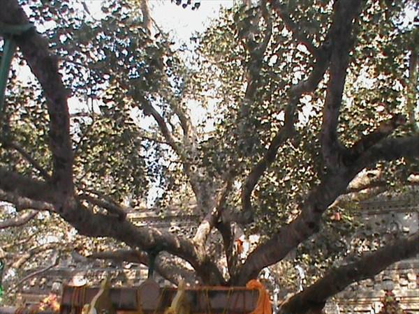 на фото: Дерево Бодхи