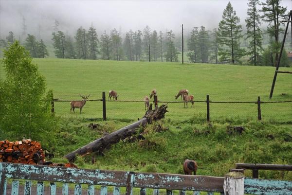 Раннее утро, маралы в 20 метрах от домика