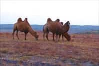 Фото 4. Верблюд - лучший друг человека