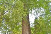 Реликтовый тополь (недалеко от Выдрино)