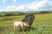 12. Баба и корова.
