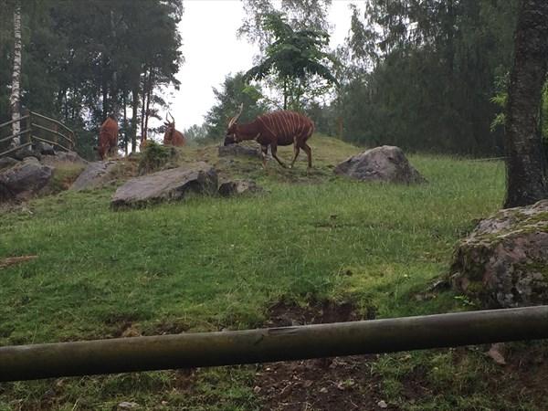 Полосатые африканские антилопы