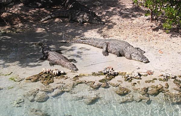 031-Крокодилы