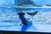 Дельфин демострирует себя в шляпе.