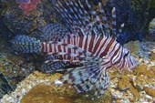 Опять Miles`s lionfish.