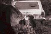 Корова, сзади подбитая машина