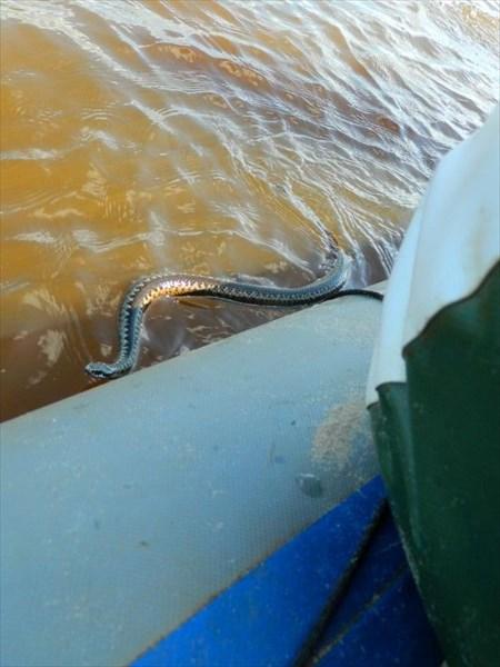 Змея пытается забраться на лодку