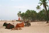 Священные коровы на пляже