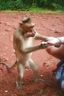 Вождь обезьнего племени получает дань