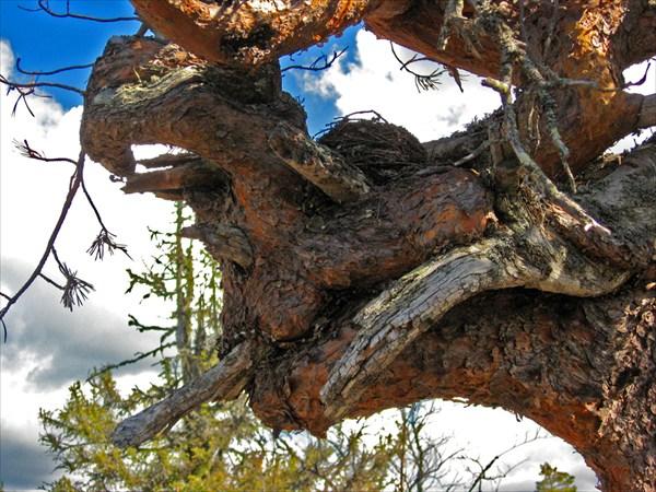 Сосны на горы закручены в сумасшедшие узлы