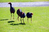 Новозеландские `курицы`