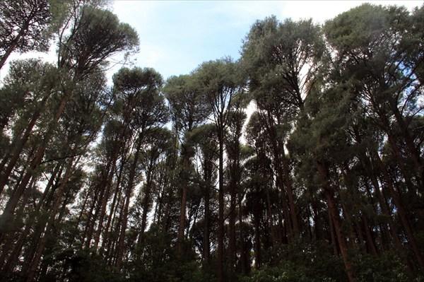 Интересный лес над головой
