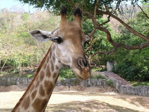 044-Жираф