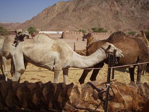 051-Верблюды